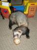 pets: Timon the Ferret