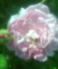 Maiden's Blush rose