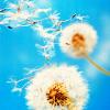 stock | dandelion