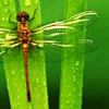 dragonfly_lily userpic
