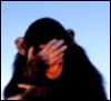 Embarrased Chimp