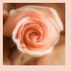 Clair de Lune: rose