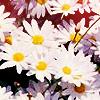 Misc: daises