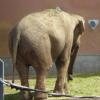 слон elefant