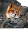 Foxik