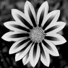 grey_gazania userpic