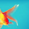 stock; goldfish