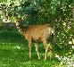 single deer