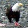 calendula_witch: Eagle