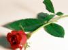 Роза выросла