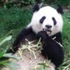 panda hi there