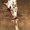 giraffophile userpic