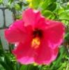knic26: Jamaican Flower