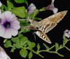 Des: Carolina Sphinx on Petunia