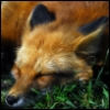 thierry_fox userpic