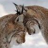 general: leopards in love