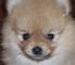 spitz_dog userpic