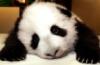 панда, задумалась