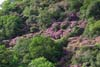 Rhododendron on the mountainside