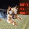 dog obey my yorkie