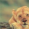 Animals - lioness
