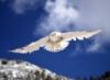 Ann: snowy owl