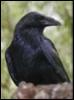 ria_raven userpic