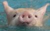 swinelet userpic