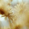 Anya: foggy daisies