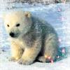 Pamela: Baby polar bear