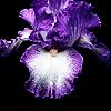 Soul of Iris
