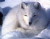 Janni Lee Simner: another arctic fox