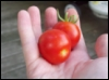 rainoftoads: tomatoes