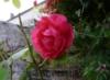 aspasia_roma: Живая роза