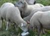 Овцы лижут соль