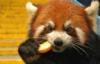 красная панда