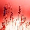 redmarshgrass