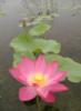 shoshanar userpic