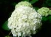 flower, hydrangea