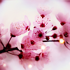 flowers_pink