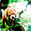 lost in the sun: Animals - Red Panda - NOM