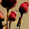 roza_v_gorle userpic