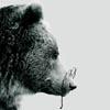 scholar bear