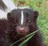 skunk face