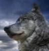 Свободный Волк