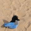 Douglas Triggs: snowbird sand
