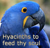 parrot, hyacinth