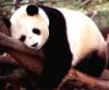 panda_s_bananom userpic