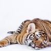 tiger sleep lazy