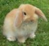 ellie_pierson: Lop Bunny